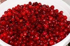 Airelas maduras vermelhas fundo da vista Fotos de Stock