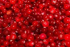 Airelas maduras vermelhas papel de parede do fundo da vista Imagens de Stock Royalty Free