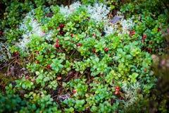Airelas vermelhas com as folhas na floresta Imagem de Stock