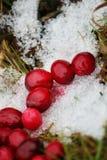 Airelas vermelhas frescas na neve Fotografia de Stock Royalty Free