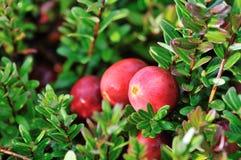 Airelas vermelhas no arbusto Imagem de Stock