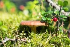 Airelle rouge et champignon dans la forêt ensoleillée Photographie stock libre de droits