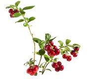 Airelle rouge sur une branche Photo stock