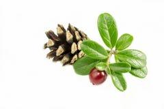 Airelles fraîches avec des certains feuilles et pinecone d'isolement sur le blanc photo stock