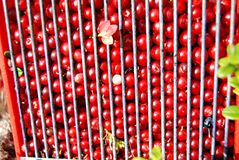 Airelles rouges Photographie stock
