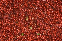 Airelles rouges Photos stock