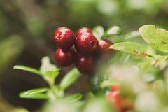 Airelles rouges juteuses et rouges Photographie stock