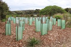 Young plants protected by plastic sleeves at the Allen Noble Sanctuary. AIREYS INLET, AUSTRALIA - October 8, 2017: Young plants protected by plastic sleeves at Stock Photos