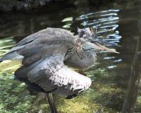 Airone arrabbiato in acqua fotografia stock libera da diritti