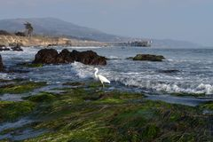 Airone bianco alla spiaggia immagini stock