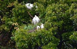 Airone bianco con i pulcini in nido Fotografia Stock Libera da Diritti