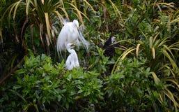 Airone bianco con il pulcino in nido Fotografia Stock Libera da Diritti