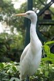 Airone bianco dell'uccello Fotografie Stock