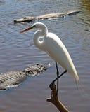 Airone bianco maggiore appollaiato sopra gli alligatori affamati Immagine Stock