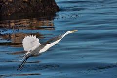 Airone bianco maggiore che decolla dall'oceano Pacifico in boschetto pacifico, CA Immagini Stock