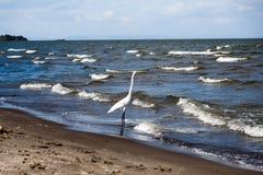Airone bianco in spiaggia Immagine Stock