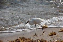 Airone bianco sulla spiaggia di Florida immagine stock