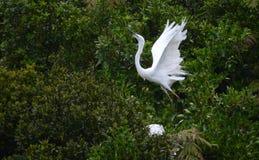 Airone bianco in volo Fotografia Stock