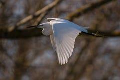 Airone bianco in volo Immagine Stock