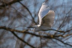 Airone bianco in volo Immagini Stock