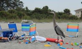 Airone blu che guarda il sole mettere sopra il golfo del Messico fra le sedie ed i giocattoli di spiaggia Immagine Stock Libera da Diritti