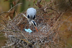 Airone cenerino, ardea cinerea, in nido con quattro uova, tempo di incastramento Fotografia Stock Libera da Diritti