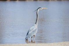 Airone cenerino che cerca pesce in uno stagno di Oklahoma immagine stock libera da diritti