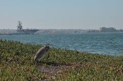 Airone cenerino sulla spiaggia fotografia stock