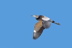 Airone con testa nera in volo fotografia stock libera da diritti