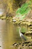Airone del fiume Fotografie Stock Libere da Diritti