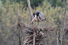 Airone della costruzione del nido Fotografie Stock