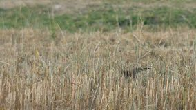 Airone dello stagno che cammina nel campo arido stock footage