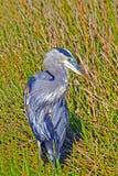 Airone di grande azzurro Fotografie Stock Libere da Diritti