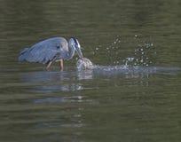 Airone di grande azzurro con i pesci Fotografie Stock
