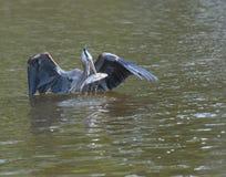 Airone di grande azzurro con un pesce Fotografia Stock Libera da Diritti