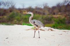 Airone di grande azzurro del Galapagos immagine stock libera da diritti