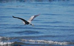 Airone di grande azzurro durante il volo Fotografie Stock Libere da Diritti