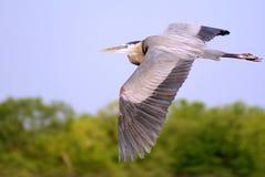 Airone di grande azzurro volante Fotografia Stock