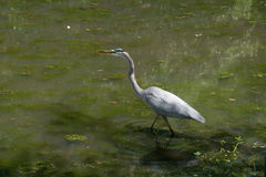 Airone di grande blu al lago e ad Iris Gardens swan Immagine Stock Libera da Diritti