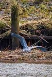 Airone di grande blu in Astoria, Oregon Fotografia Stock Libera da Diritti