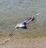 Airone di grande blu che decolla dal bordo dell'acqua Fotografie Stock Libere da Diritti