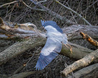 Airone di grande blu che decolla in Illinois Fotografia Stock