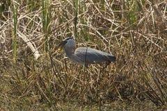 Airone di grande blu che inghiotte un grande pesce in Florida centrale Fotografia Stock