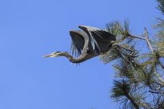 Airone di grande blu che viene fuori un albero Immagini Stock Libere da Diritti