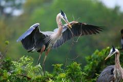 Airone di grande blu con materiale per il nido in suo becco È la La immagine stock