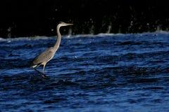 Airone di grande blu in fiume Fotografia Stock Libera da Diritti