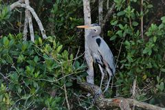 Airone di grande blu nei terreni paludosi di Florida fotografie stock