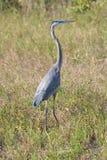 Airone di grande blu nel parco nazionale dei terreni paludosi Fotografia Stock