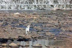 Airone di grande blu su una roccia dalla cascata, New Jersey, U.S.A. Fotografia Stock