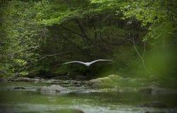 Airone di grande blu, volante in basso sopra l'acqua del fiume di Eighmile Immagine Stock